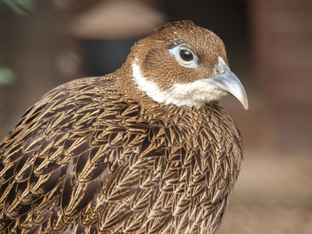 lubelszczyzna: The Himalayan Monal Pheasant