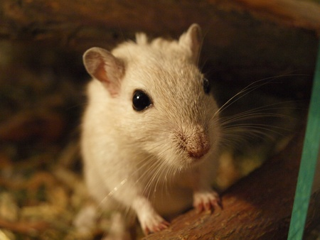 Closeup of a Mongolian gerbil Stock Photo