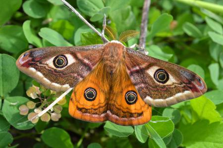 Emperor's Night Butterfly Archivio Fotografico