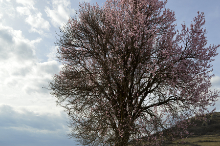 Almond pink and white blossoms shivering on chill wind gusts, shortly before spring time