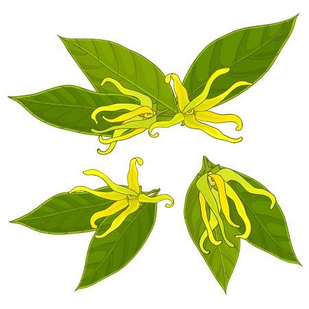 colorful ylang-ylang flowers, isolated, vector illustration, eps10 Stock Vector - 18411037