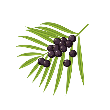 Acai berries and branch with leaves. Vector flat icon illustration, isolated on white.