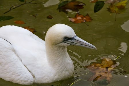 a portrait of a Snowy Egret swimming in the water Stock Photo