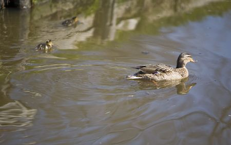 a duck swiming in a river Stock Photo