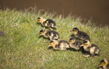 a group of chicks