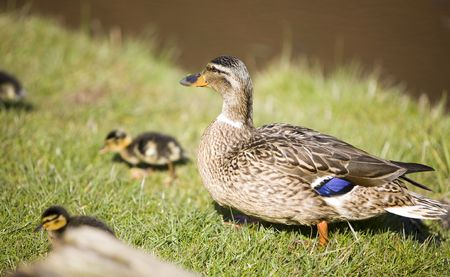 a duck with her chicks running around Stock Photo