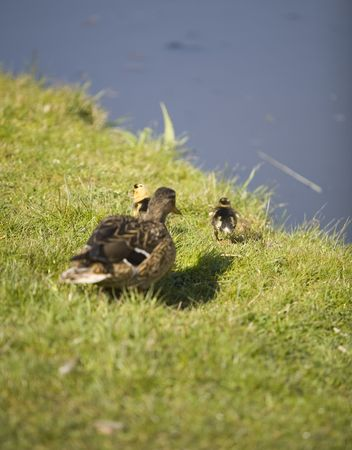 a duck with chicks