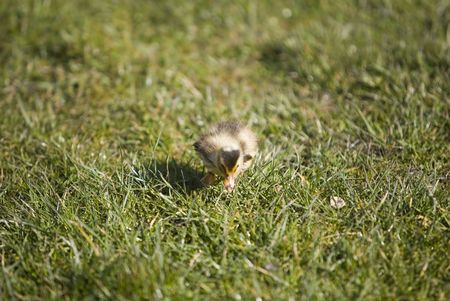 a cute duck walking on the grass