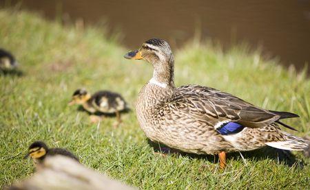 cute duckswalking on the grass