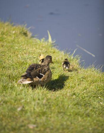 cute ducks walking on the grass