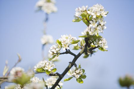 white flowers in the spring Stock Photo