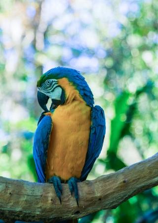 psittacidae: Colorful ara in Iguacu, Brazil