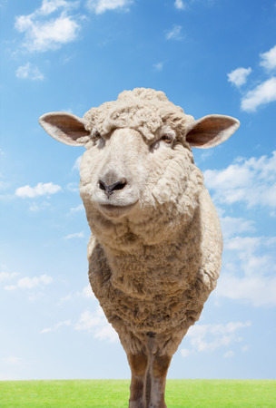 Sheep standing in field photo