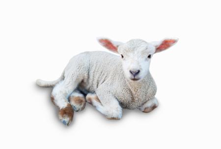 ram: Lamb