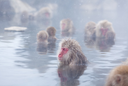 Snow monkeys in hot springs of Nagano, Japan. Stock Photo