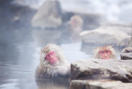 Snow monkeys in hot springs of Nagano, Japan. 免版税图像
