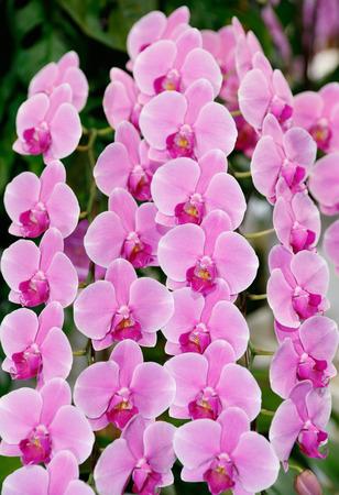 vegetative: phalaenopsis orchid