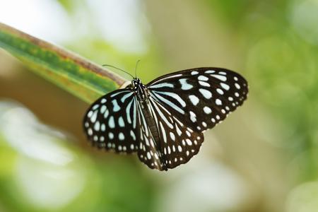 Ceylon Blue Glassy Tiger Stock Photo