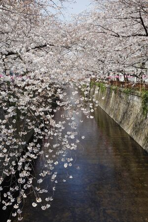 Cherry blossoms of Meguro River