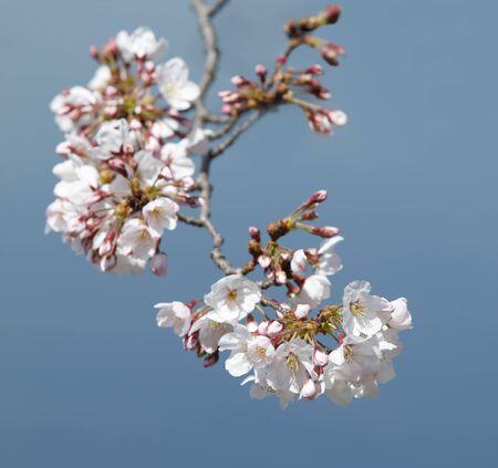 Cherry blossom branch 免版税图像