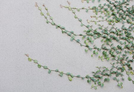 Ivy white wall 免版税图像