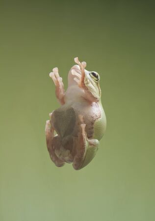 Frog sticking to glass