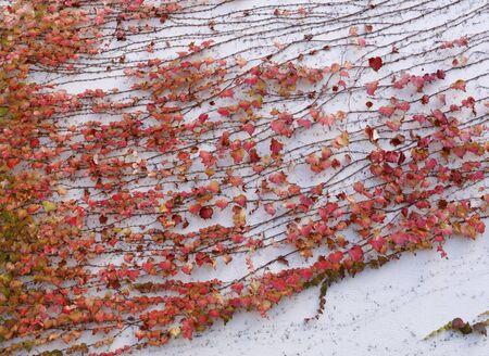 Wall overgrown with vine 免版税图像