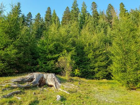 A wide stump with roots on the edge of a forest in the Carpathian mountains before sunset Foto de archivo