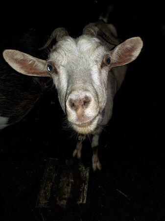Weiße Ziege mit blauen Augen, langen Ohren mit Hörnern betrachtet die Kameranahaufnahme nachts. Dreharbeiten im Dorf einer Wachfarm bei Nacht.