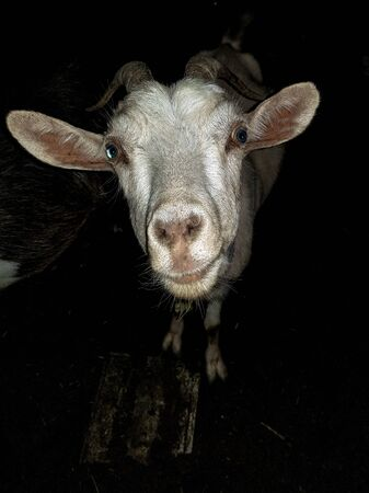 White goat with blue eyes, long ears with horns looks at the camera closeup at night. Filming in the village of a watch farm at night.