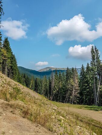 Coniferous forest on the slope of the Carpathian mountains before sunset on a summer day