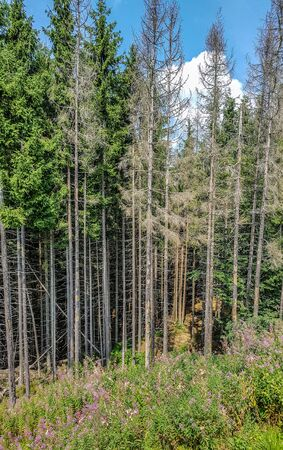 Coniferous forest on the slope of the Carpathian mountains on a summer day Stock fotó