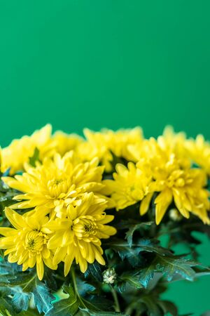 Bouquet of yellow chrysanthemums on a green background. Yellow flowers on a green background. Flowerpot of yellow chrysanthemums on a green background. Bouquet of chrysanthemums for March 8 and Mothers Day
