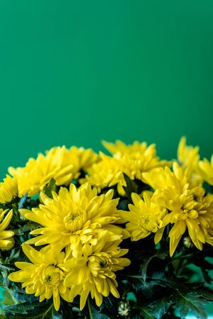Bouquet of yellow chrysanthemums on a green background. Yellow flowers on a green background. Flowerpot of yellow chrysanthemums on a green background. Bouquet of chrysanthemums for March 8 and Mother's Day