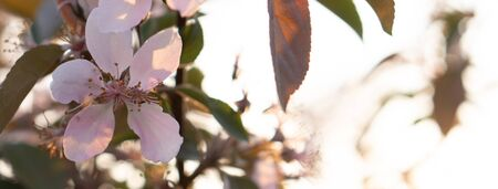 Gardening, floristry, screensavers and texture concept - close-up of a few pink apple blossoms on a branch along with leaves against the backdrop of sunset in early spring