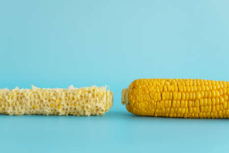 Whole and empty corn cob. Maize. Zea mays. Two boiled corncobs. One with delicious yellow-golden sweetcorn grains and the other gnawed. Organic food with dietary fiber. Isolated on blue background.