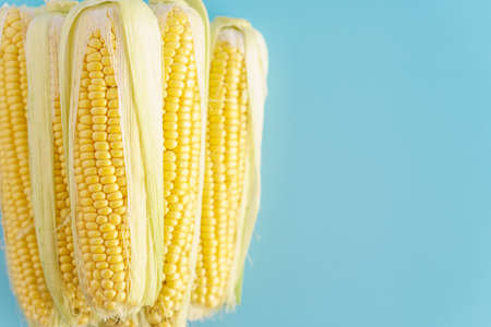 vegetables and fruits, agriculture, gastronomy, harvest concept - layout of fresh several yellow head of peeled corn pyramid one on other parallel on a monochrome blue head of corn top view copy space