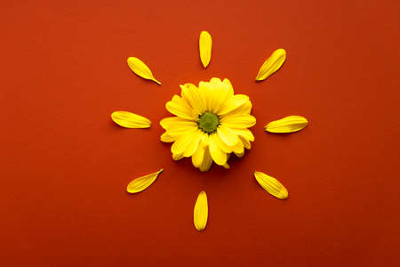 layout of bright yellow natural flowers on hot orange red background. Floral sun made of daisies. pattern of fresh plants on solid colored tint. spring, summer, women day, mothers Day, ecology concept