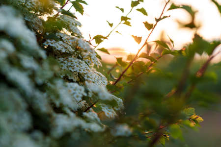 Soft focus Close-Up of bouquet of white wildflowers on a bush on sunset copy space. Green Summer Grass Meadow With Bright Sunlight. Sunny Spring Background. nature, ecology, farming, wildlife concept Stockfoto