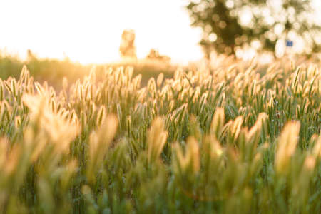 Soft focus Close-Up of many stems with spikelets of wild grass on sunset copy space. Green Summer Grass Meadow With Bright Sunlight. Sunny Spring Background. nature, ecology, farming, wildlife concept Stockfoto