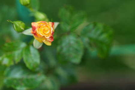 close-up soft focus of a beautiful orange lonely flower on a green bush. Yellow flowers Rosa Golden Celebration. Mothers day, womens day concept.
