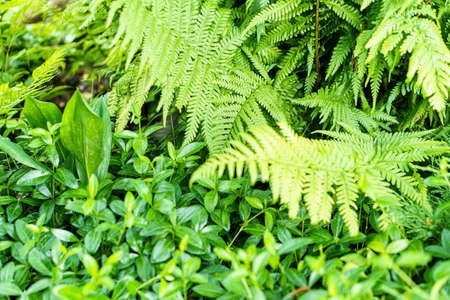 soft focus close-up of bright or light green green fern next to periwinkle. great green bush of fern in forest. Vegetable background. Nature, ecology, environmental protection, symbol of life concept.