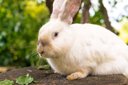 large adult frightened white rabbit sits on tree stump against background of green lawn. Hare in wild meadow gnaws and eats grass in spring or summer. Animal, environmental protection. easter concept Фото со стока