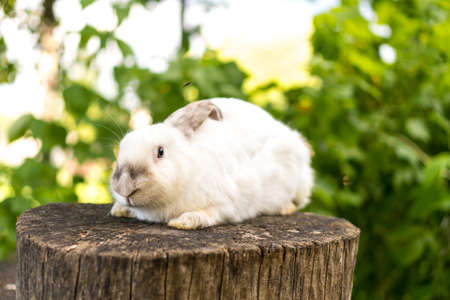 large adult frightened white rabbit sits on tree stump against background of green lawn. Hare in wild meadow gnaws look at camera in spring or summer. Animal, environmental protection. easter concept