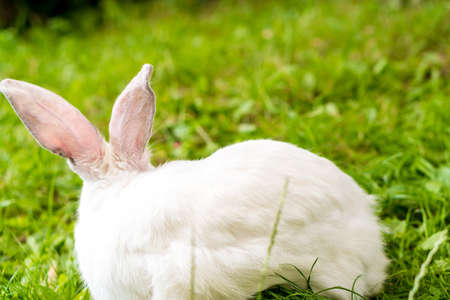 back view of large adult frightened white rabbit sits against background of green lawn. Hare in wild meadow gnaws and eats grass in spring or summer. Animal, environmental protection. easter concept Фото со стока