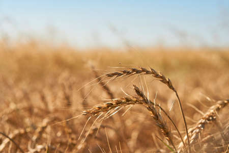 close-up soft focus ripe yellow and orange ears of wheat against blue sky. beautiful field of grasses stretching into horizon without limitation. Nature, agriculture, food and cooking, summer concept