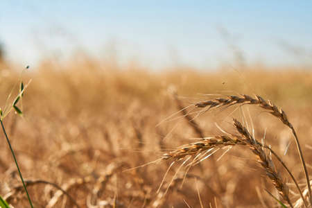 close-up soft focus ripe yellow and orange ears of wheat against blue sky. beautiful field of grasses stretching into horizon without limitation. Nature, agriculture, food and cooking, summer concept. Фото со стока