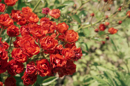 background from a large bush of beautiful red or pink bright roses. A bush of fresh flowers in the garden or backyard. Floristry, 8 March, Mothers Day, Nature concept