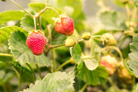 Close-up farmer hand holding growing organic natural ripe red strawberry checking ripeness for picking hatvest. Tasty juice healthy berries plantation. Agricultural plant food business