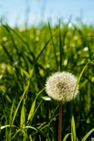 summer, nature, spring, freshness - background of fresh wild natural flower plant on spring meadow in hot sunny day. white yellow fluffy dandelions on light blue bright clean sky garden summertime